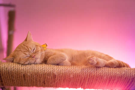 animal eye: Peaceful orange red tabby cat male kitten curled up sleeping.