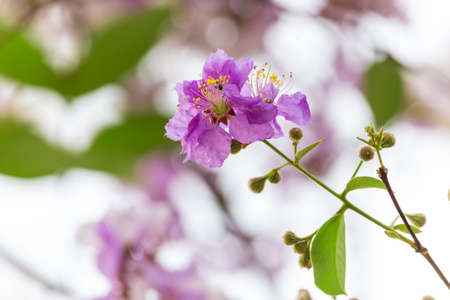 Lagerstroemia floribunda flower, also known as Thai crape myrtle and kedah bungor, is a species of flowering plant in the Lythraceae family.