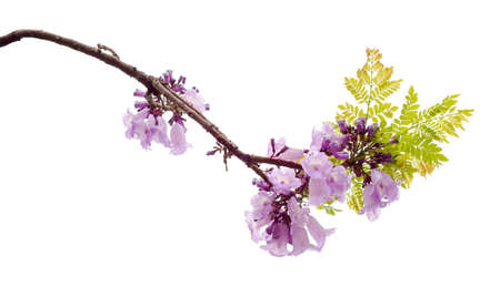 Jacaranda obtusifolia isolated on white background, a species with an inflorescence at the tip of the purple flower, is native to South America.