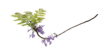Close up of beautiful purple jacaranda trees, isolated on white background, a species with an inflorescence at the tip of the purple flower, is native to South America. Stock Photo