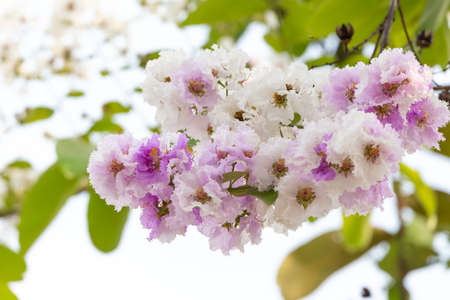 Lagerstroemia floribunda flower, also known as Thai crape myrtle and kedah bungor, is a species of flowering plant in the Lythraceae family. It is native of the tropical region of Southeast Asia Standard-Bild