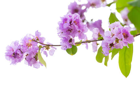 Lagerstroemia floribunda flower, also known as Thai crape myrtle and kedah bungor, is a species of flowering plant in the Lythraceae family. It is native of the tropical region of Southeast Asia 版權商用圖片