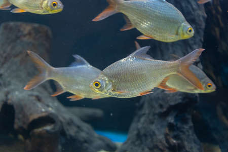 Close up beautiful fish in the aquarium on decoration of aquatic plants background. A colorful  fish in fish tank. Stock Photo