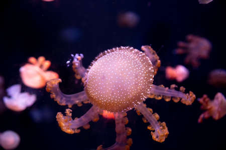 Close-up Jellyfish, Medusa in fish tank with neon light. Jellyfish is free-swimming marine coelenterate with a jellylike bell- or saucer-shaped body that is typically transparent. Stock Photo