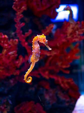 Hippocampe en aquarium. Ces hippocampes vivent dans les mers chaudes autour de l'Indonésie, des Philippines et de la Malaisie. Ils sont généralement jaunes et ont un nez rayé noir et blanc inhabituel.