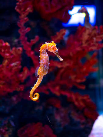 Sea horse in aquarium. These seahorses live in the warm seas around Indonesia, Philippines and Malaysia. They are usually yellow and have an unusual black and white striped nose.