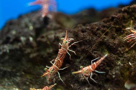 Hinge- beak shrimp, It is beautiful small shrimp in fish tank.