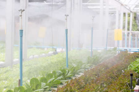 Organic Vegetables in organic  farm. Vegetable farm, Water springier, spray watering to hydroponics organic vegetable farm. Stock Photo