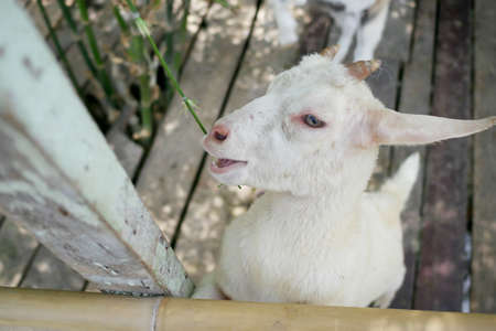 A small goat eating green bamboo leaves.