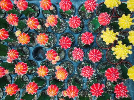 Close up cactus flower in garden.