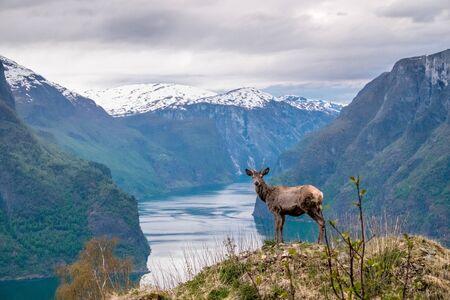 Piękne zdjęcie jelenia w norweskim krajobrazie