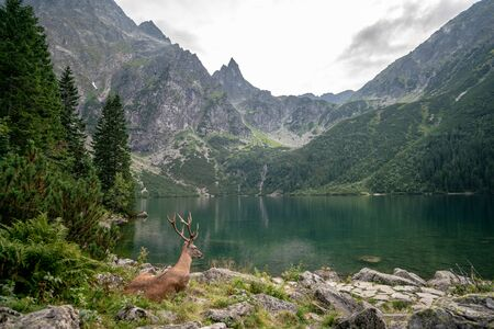 Lucky shot of a deer at the Morskie Oko Lake