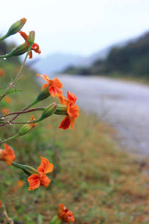 ha giang: The flower Stock Photo