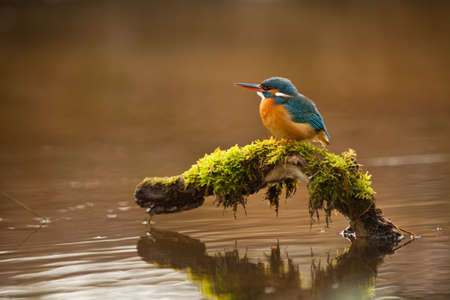kingfisher: European Kingfisher on a branch