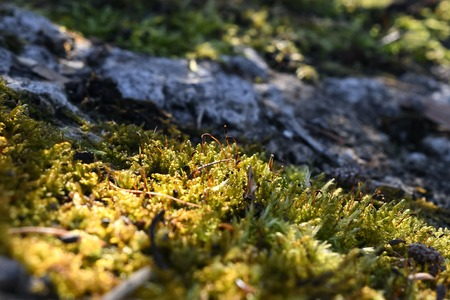Moss closeup in the forest. Background