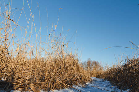 Seedy reed stems on the winter river