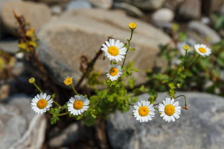 beautiful white flowers growing on the rocks. natural floral background