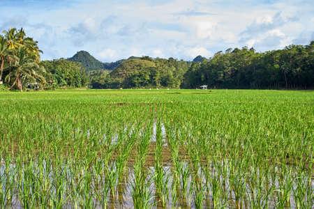 Beautiful scenic view on rice fields, Bohol Island, Philippines