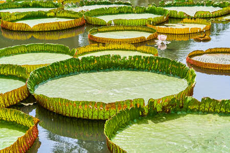 Victoria Amazonica Giant Water Lilies