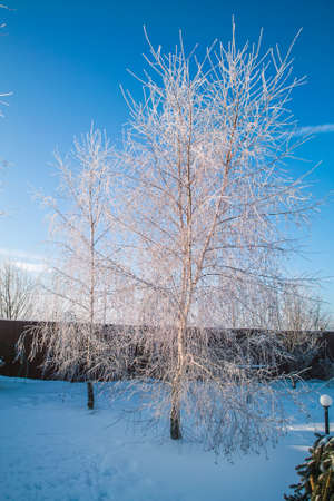 Frozen snowy birch alley