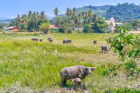 Buffalo in Langkawi island, Malaysia