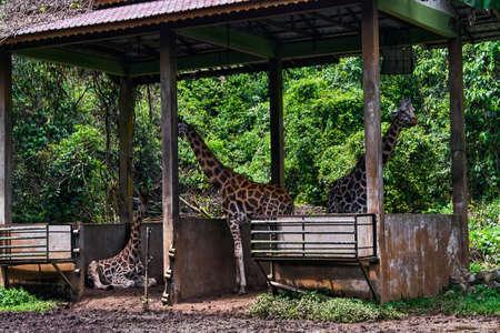 African Giraffe family