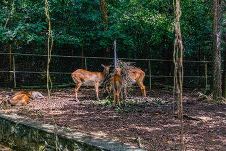 Kafue Lechwe deer
