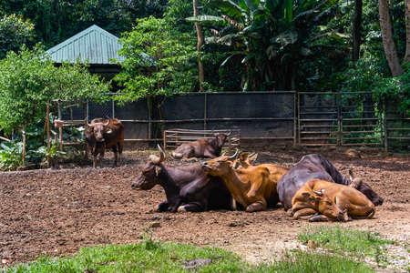 Banteng horn cow Stock Photo