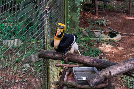 Malayan Great Hornbill bird in a cage