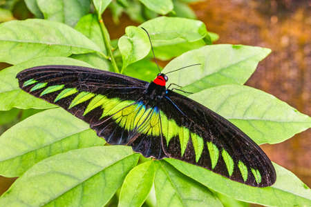 Rajah Brooke's birdwing butterfly in Malaysia tropical forest