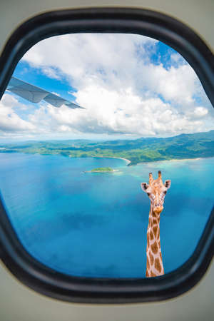 Giraffe with long neck surprisingly looking through plane window
