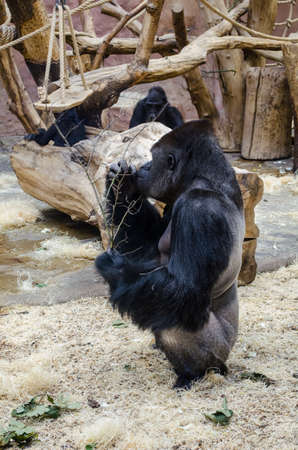hominid: old male gorilla is eating inside of the prague zoo