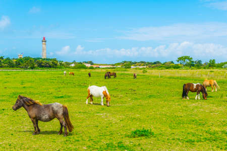 Horses are grazing on a meadow with Phare des Baleines at background, Ile de Re, France 写真素材