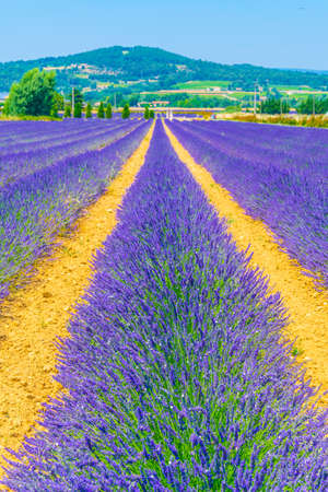 Lavender field in Luberon region, France