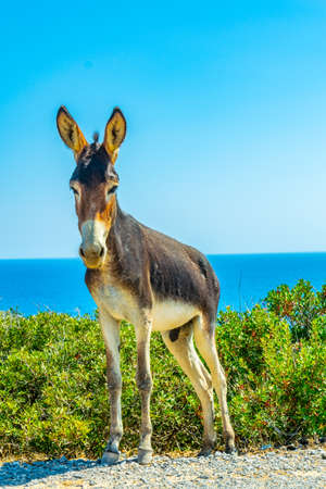 Wild donkeys are waiting at the entrance of Karpaz national park for tourists who give them something to eat, Cyprus Archivio Fotografico - 115549566