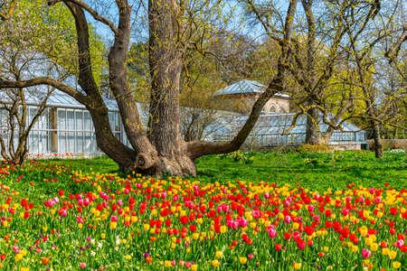 Tulip fields at the botanical garden in Lund, Sweden