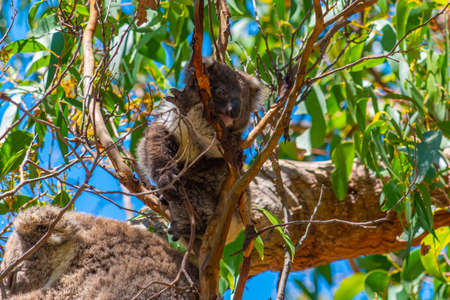 Mother and baby koala in branches of Great Otway national park, Australia