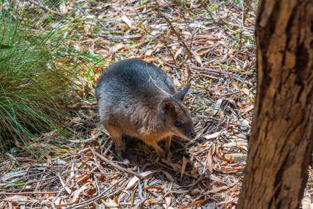 Wallaby at Cleland wildlife park near Adelaide, Australia