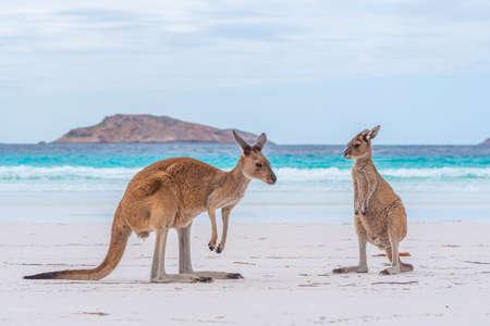 Kangaroos at Lucky Bay in Australia
