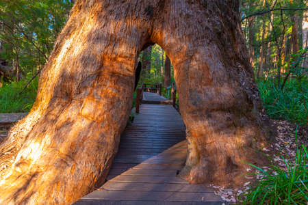 Hole in the trunk of a tingle tree caused by a bush fire at the valley of giants in Australia