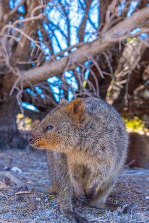 Quokka living at Rottnest island near Perth, Australia