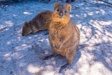 Quokka living at Rottnest island near Perth, Australia Stock Photo