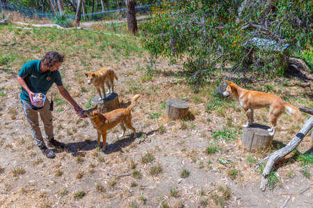 ADELAIDE, AUSTRALIA, JANUARY 6, 2020: A volunteer is feeding a dingo at cleland wildlife park at Adelaide, Australia