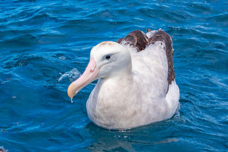 Southern royal albatross near Kaikoura, New Zealand