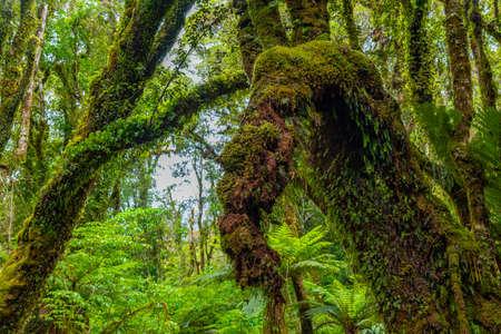 Rainforest on the west coast of South Island near Fox glacier in New Zealand