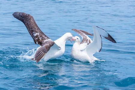 Southern royal albatross near Kaikoura, New Zealand Imagens