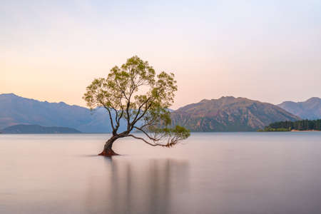 Sunset view of That Wanaka tree in New Zealand