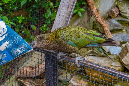Kea parrot at Kiwi birdlife park in Queenstown, New Zealand