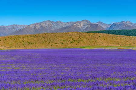 Lavender garden at lake Pukaki, New Zealand