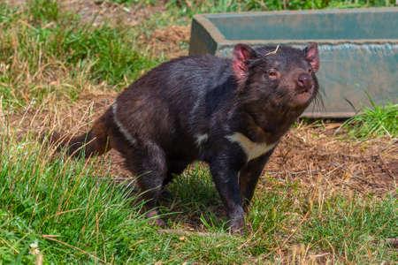 Sarcophilus harrisii known as Tasmanian devil in Australia